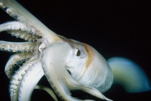 Un calamar agonizante