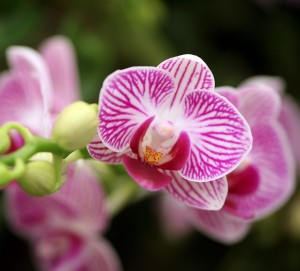 orquidea testiculo